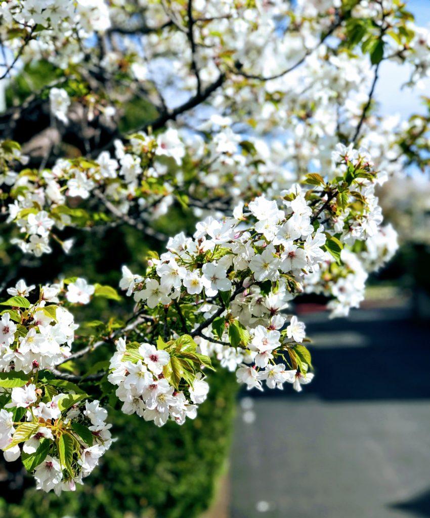 入学式の日の桜
